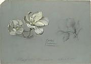 Magnolia Conspicua
