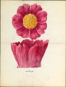 Design drawing of peony blossom of floral capital from loggia, Laurelton Hall