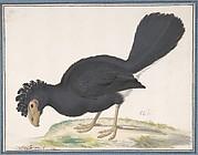 A Black Curassow