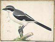 A Great Grey Shrike