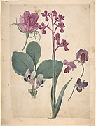 A Sheet of Studies of Flowers: A Rose, a Heartsease, a Sweet Pea, a Garden Pea, and a Lax-flowered Orchid