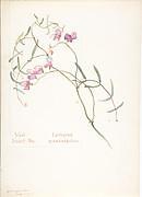 Wild Sweet Pea, Lathyrus graminifolius