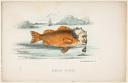 Gold Fish (Francis M. Drexel), from The Comic Natural History of the Human Race