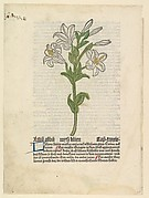 White Lily, illustration from Gart der Gesundheit  (Sch.4332)
