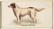 English Setter, from the Dogs of the World series for Old Judge Cigarettes