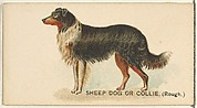 Sheep Dog or Collie (Rough), from the Dogs of the World series for Old Judge Cigarettes