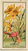 Daffodils (Narcissis Pseudo-Narcissus), from the Flowers series for Old Judge Cigarettes