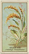Golden Rod (Solidago Canadensis), from the Flowers series for Old Judge Cigarettes