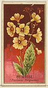 Primrose (Primula Vulgaris), from the Flowers series for Old Judge Cigarettes