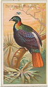 The Impeyan Pheasant, from the Birds of the Tropics series (N5) for Allen & Ginter Cigarettes Brands