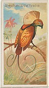 Magnificent Bird of Paradise, from the Birds of the Tropics series (N5) for Allen & Ginter Cigarettes Brands