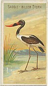 Saddle-Billed Stork, from the Birds of the Tropics series (N5) for Allen & Ginter Cigarettes Brands