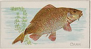 Carp, from the Fish from American Waters series (N8) for Allen & Ginter Cigarettes Brands