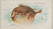 Blowfish, from the Fish from American Waters series (N8) for Allen & Ginter Cigarettes Brands