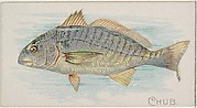 Chub, from the Fish from American Waters series (N8) for Allen & Ginter Cigarettes Brands