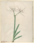 Pancratium