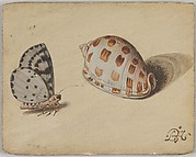 An Arrowhead Blue Butterfly and a Scotch Bonnet Sea Shell