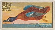 Blue Winged Teal, from the Game Birds series (N13) for Allen & Ginter Cigarettes Brands