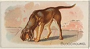 Bloodhound, from the Quadrupeds series (N21) for Allen & Ginter Cigarettes