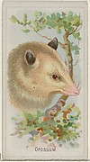 Opossum, from the Wild Animals of the World series (N25) for Allen & Ginter Cigarettes