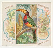 The Banded Aracari Toucan, from Birds of the Tropics series (N38) for Allen & Ginter Cigarettes