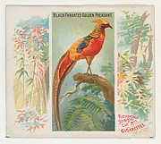 Black-Throated Golden Pheasant, from Birds of the Tropics series (N38) for Allen & Ginter Cigarettes