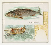 Weakfish, from Fish from American Waters series (N39) for Allen & Ginter Cigarettes
