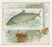 Whitefish, from Fish from American Waters series (N39) for Allen & Ginter Cigarettes