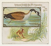 Canada Goose, from the Game Birds series (N40) for Allen & Ginter Cigarettes
