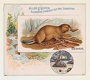 Beaver, from Quadrupeds series (N41) for Allen & Ginter Cigarettes