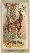 Giraffe, South African, from the Animals of the World series (T180), issued by Abdul Cigarettes