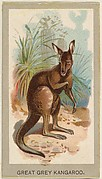 Great Grey Kangaroo, from the Animals of the World series (T180), issued by Abdul Cigarettes