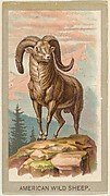 American Wild Sheep, from the Animals of the World series (T180), issued by Abdul Cigarettes