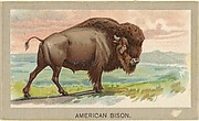 American Bison, from the Animals of the World series (T180), issued by Abdul Cigarettes