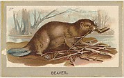 Beaver, from the Animals of the World series (T180), issued by Abdul Cigarettes
