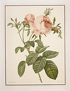 Copy of plate III of one of P. J. Redouté's Books on Roses