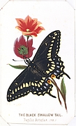 The Black Swallowtail from The Butterflies and Moths of America Part 3