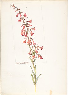 Penstemon Parryi
