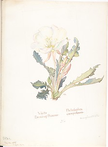 White Evening Primrose, Pachylophus Marginatus