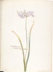 Indian Hyacinth, Tritelia grandiflora