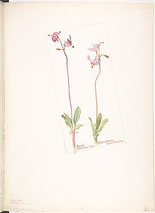 Small Shooting Star, Dodecatheon pauciflorum