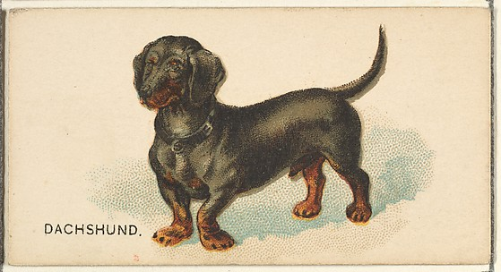 Dachshund, from the Dogs of the World series for Old Judge Cigarettes