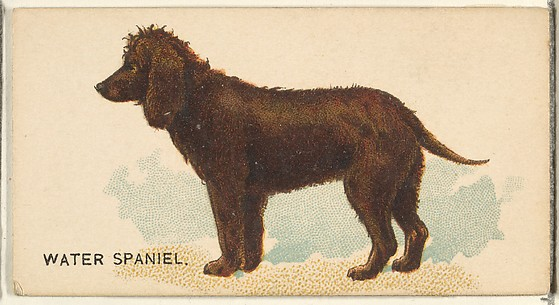 Water Spaniel, from the Dogs of the World series for Old Judge Cigarettes