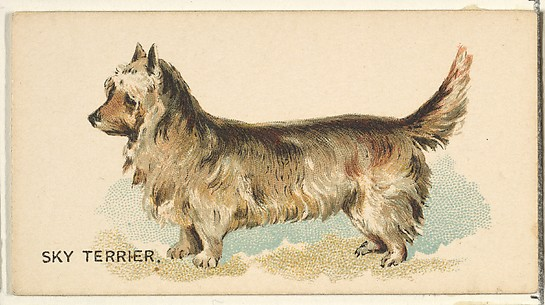 Sky Terrier, from the Dogs of the World series for Old Judge Cigarettes