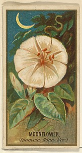 Moonflower (Ipomoea Bona Nox), from the Flowers series for Old Judge Cigarettes