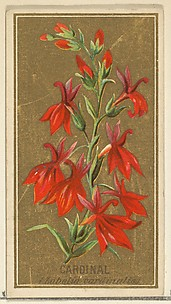 Cardinal (Lobelia cardinalis), from the Flowers series for Old Judge Cigarettes