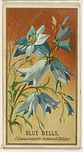 Bluebells (Campanula rotundifolia), from the Flowers series for Old Judge Cigarettes
