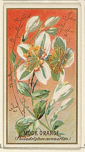 Mock orange (Philadelphus coronarius), from the Flowers series for Old Judge Cigarettes