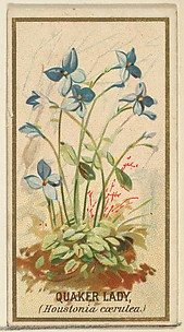 Quaker Lady (Houstonia caerulea), from the Flowers series for Old Judge Cigarettes