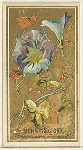 Morning Glory (Convolvalus arrensis), from the Flowers series for Old Judge Cigarettes